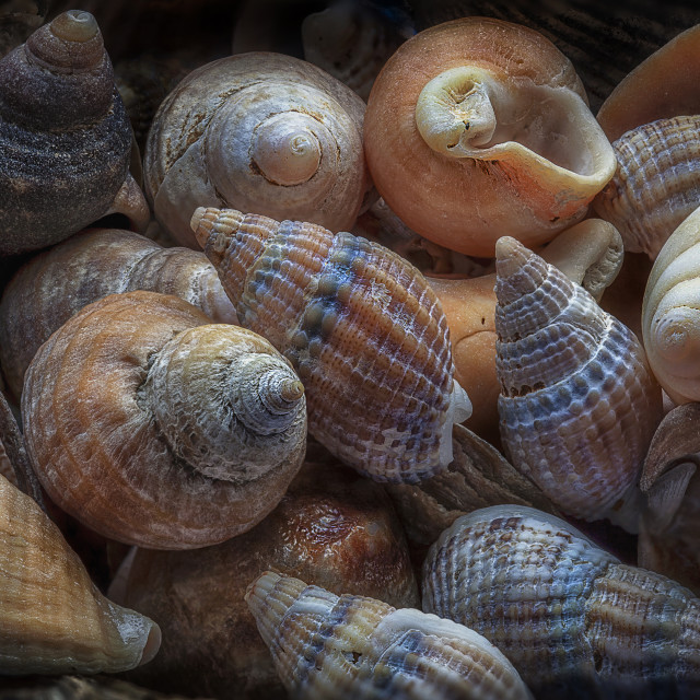 """Netted dog whelks"" stock image"