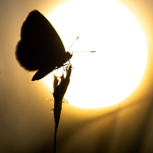 """Silhouette of butterfly on grass"" stock image"