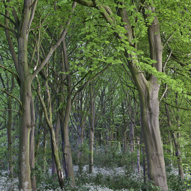 """The beeches in May"" stock image"