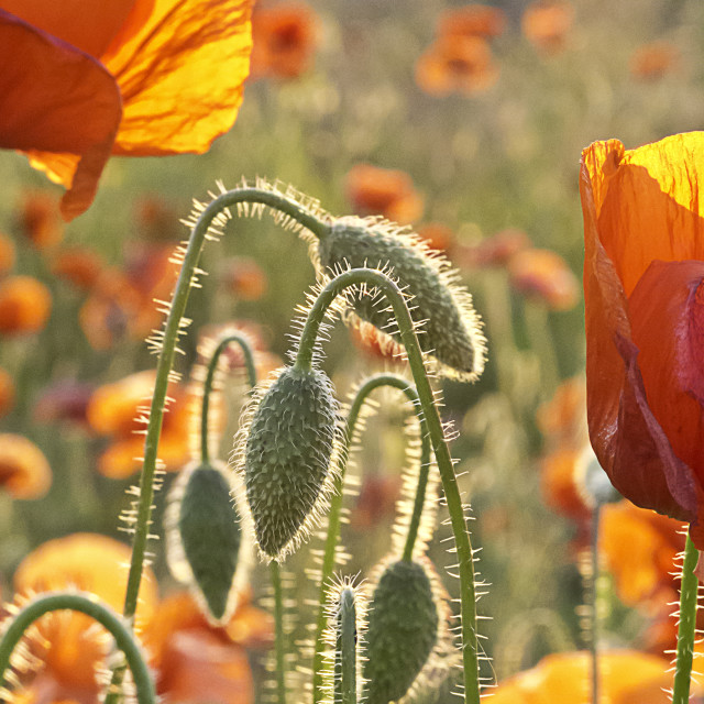 """Poppies in the evening sunlight"" stock image"