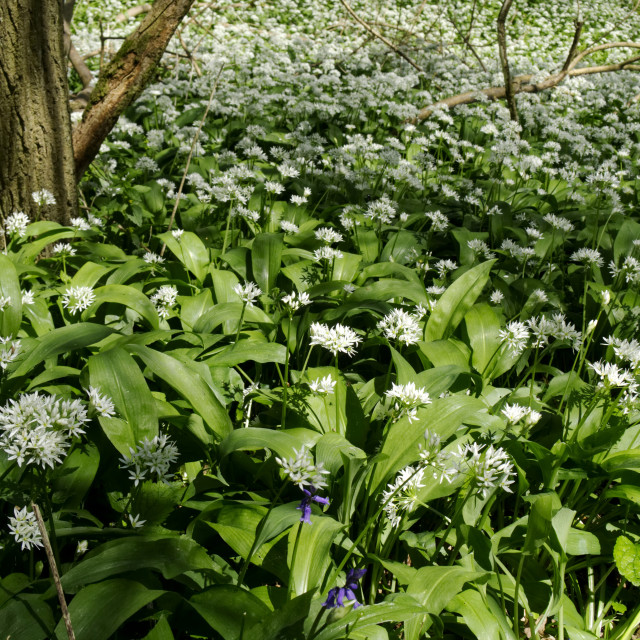 """Wild Garlic 1"" stock image"