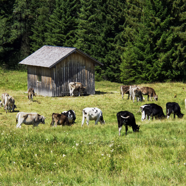 """Alpine Cattle 2"" stock image"