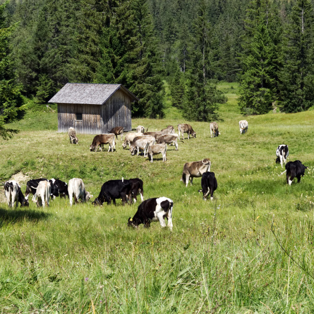 """Alpine Cattle 5"" stock image"