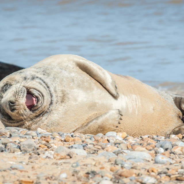 """joyful seal on a beach"" stock image"