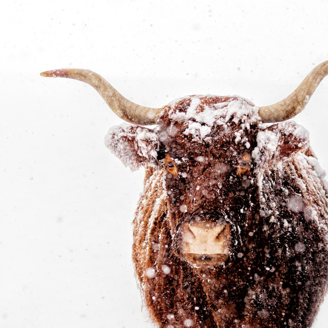 """""""Red Saler in the snow"""" stock image"""