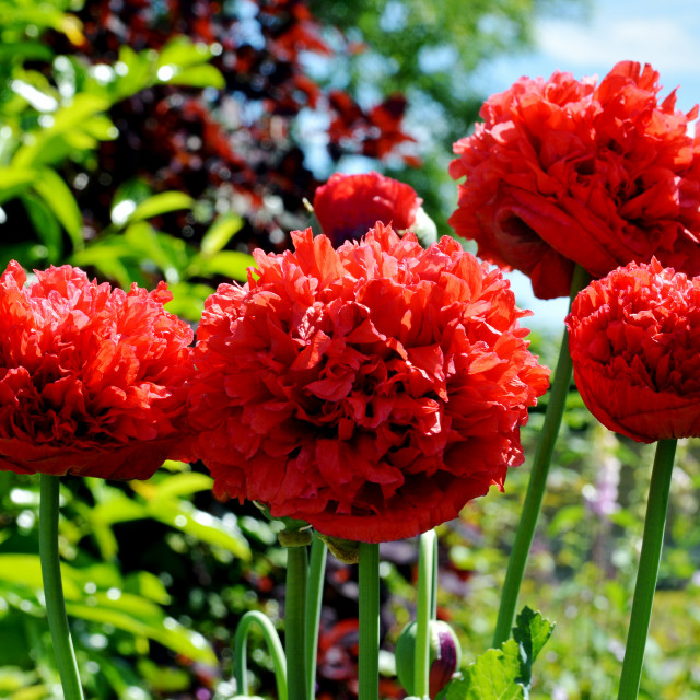 """""""Colourful Poppies (French Flounce)"""" stock image"""