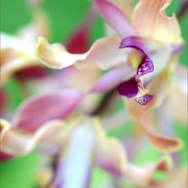 """""""Sensual Touch of Exotic II. Orchid II"""" stock image"""
