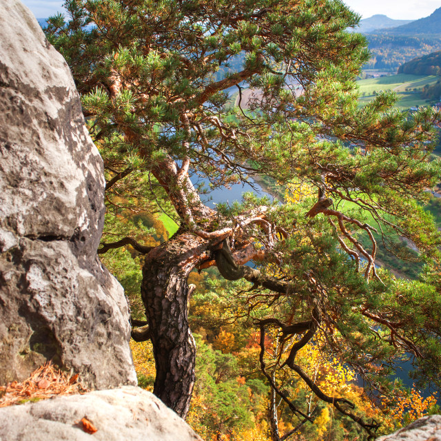 """Pine Tree. Saxon Switzerland"" stock image"
