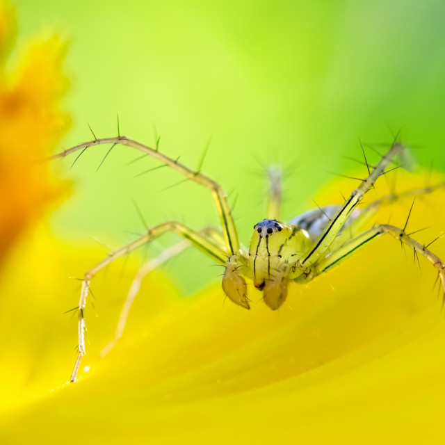 """Spider on petal"" stock image"