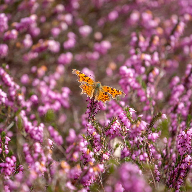 """""""Comma Butterfly on heather"""" stock image"""