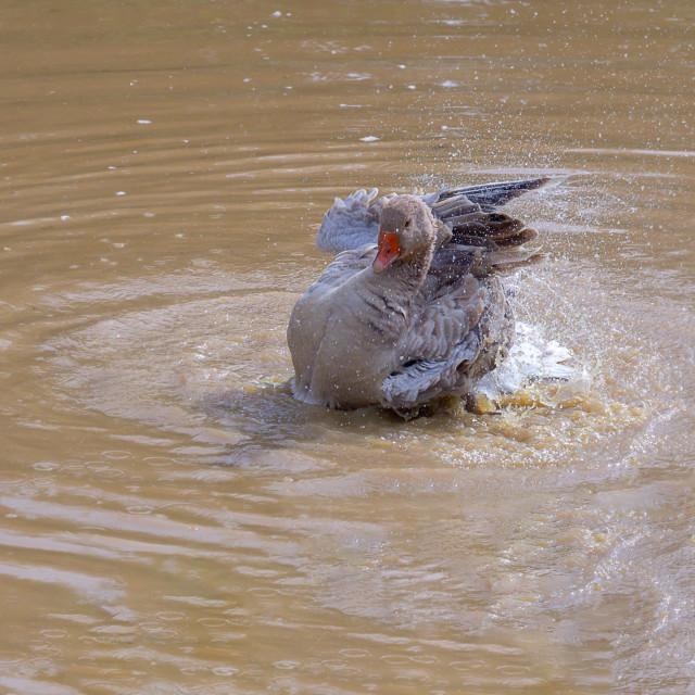 """Canada Goose Splashing"" stock image"