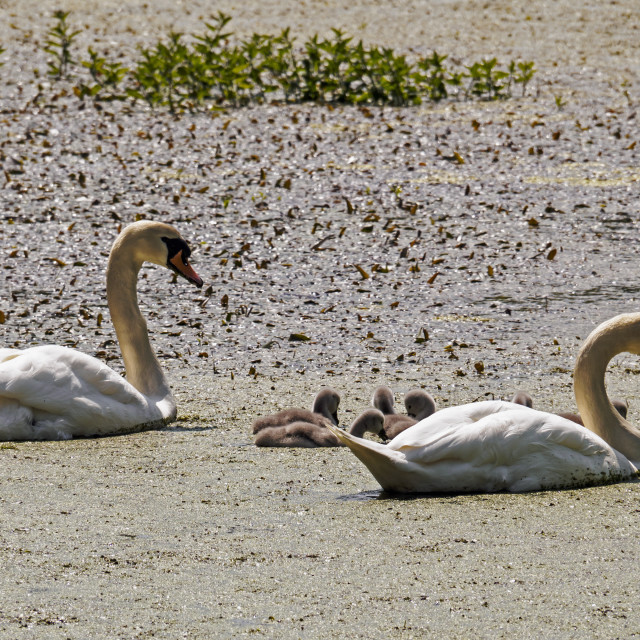 """Swans and Cygnets 1"" stock image"