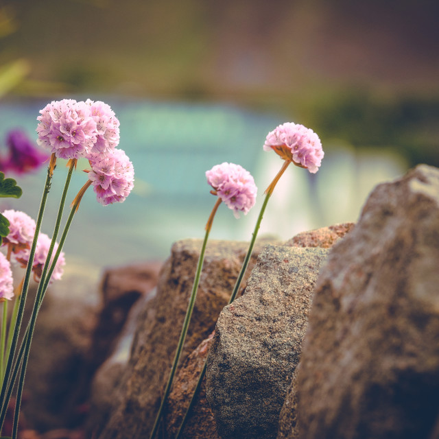 """Sea Pinks Growing Near The Waterfront"" stock image"