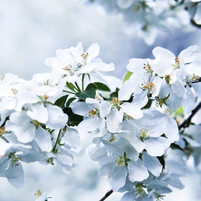 """White cherry tree flowers"" stock image"
