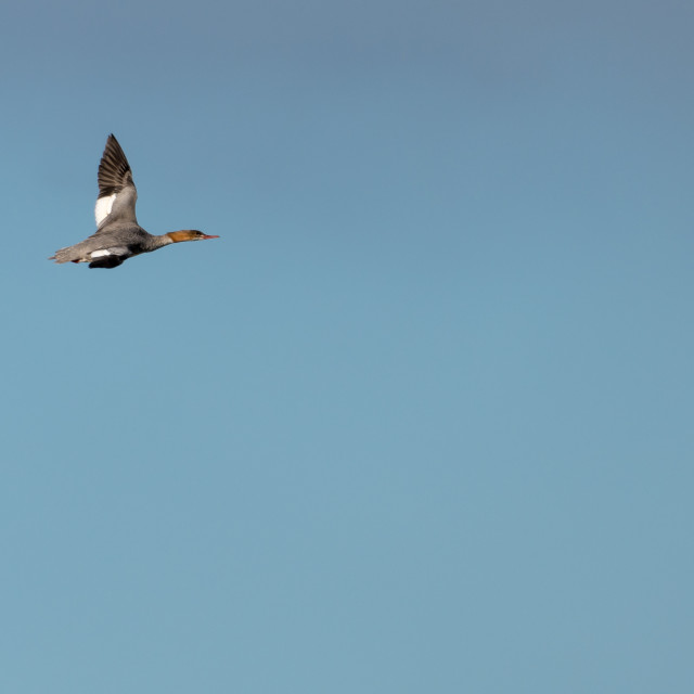 """Flying Goosander duck against blue skies"" stock image"