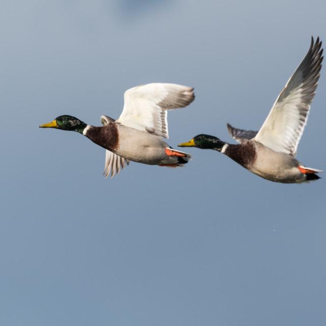 """Flying Mallards closeup"" stock image"