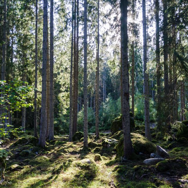 """Backlit spruce tree forest"" stock image"