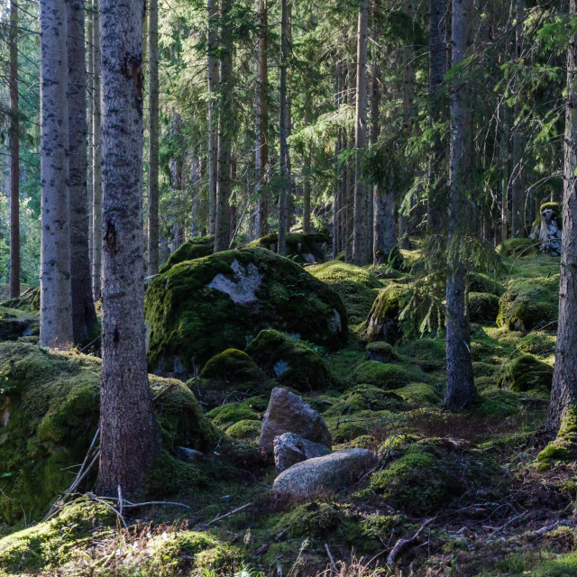 """Deep in a mossy old forest"" stock image"