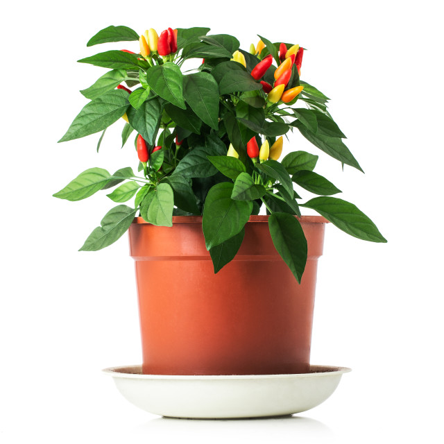 """Hot chilli peppers red, orange, yellow on plant in pot isolated"" stock image"