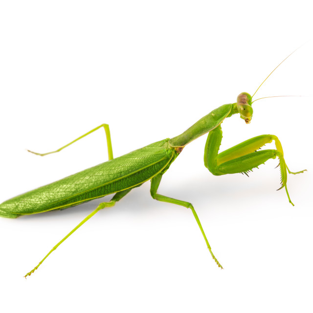 """Beautiful green insect European Mantis or Praying Mantis isolate"" stock image"