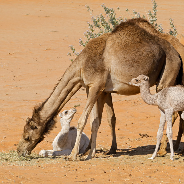"""""""Camels with young calves"""" stock image"""