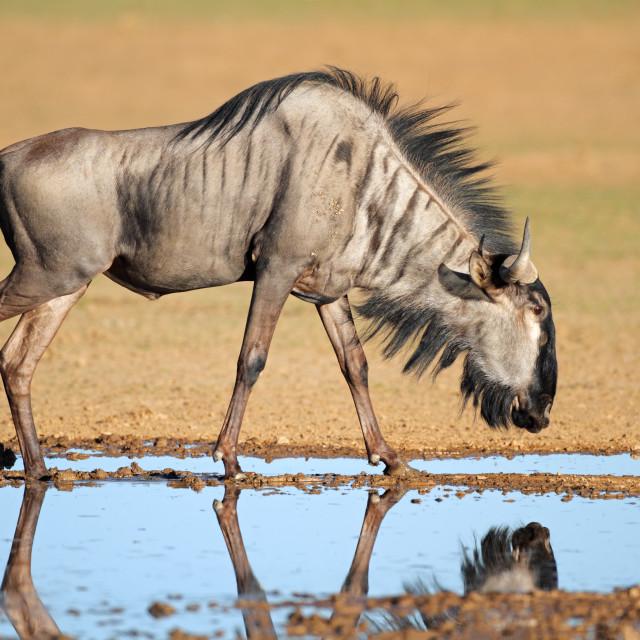 """Blue wildebeest at waterhole"" stock image"