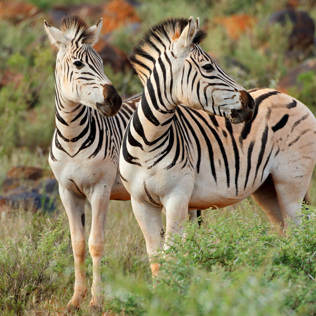 """Plains zebras in natural habitat"" stock image"