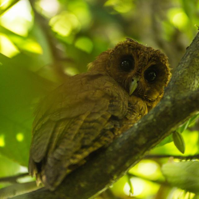 """A Jamaican Owl"" stock image"