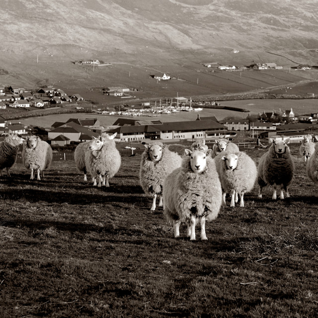 """Sheep Having A Collective Look At The Photographer"" stock image"