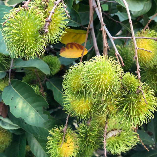 """Green Unripe Rambutan Fruit"" stock image"