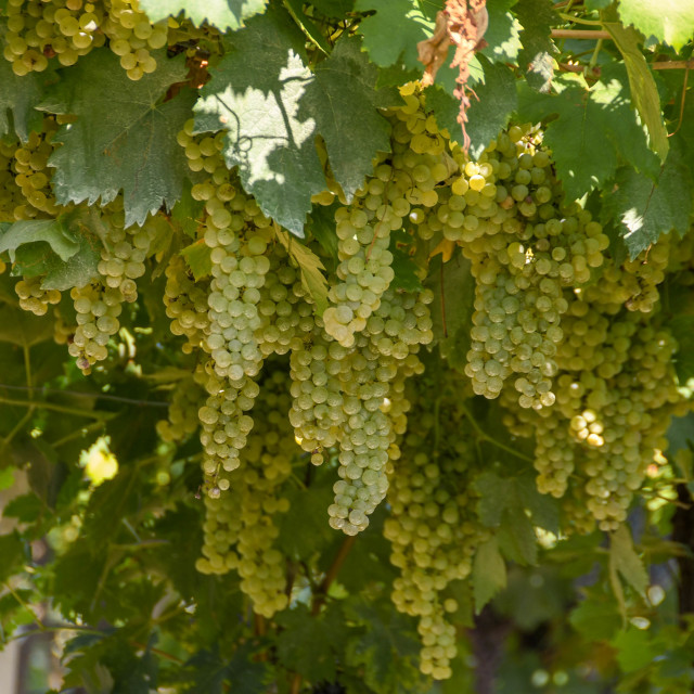 """Ripe white grapes on the vine"" stock image"