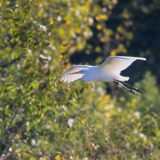 """Little Egret in flight"" stock image"