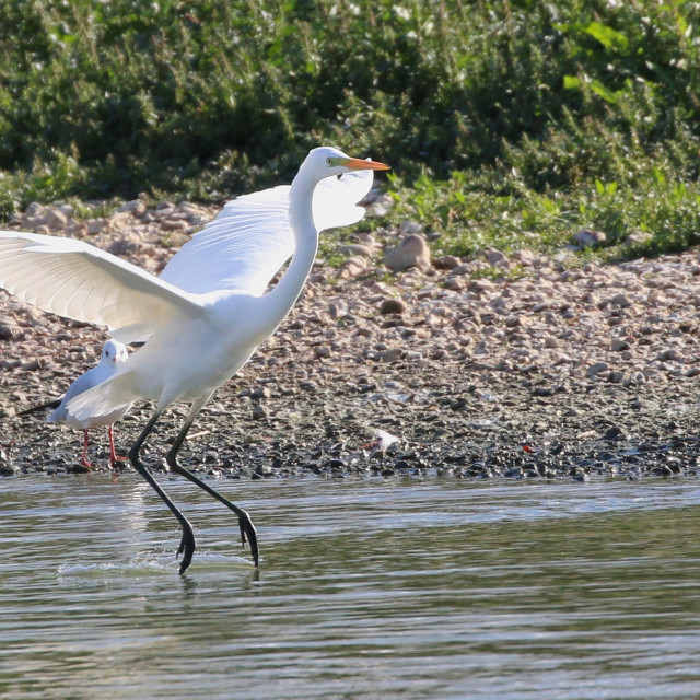 """Great White Egret coming into land"" stock image"