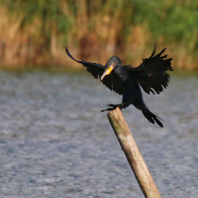 """Cormorant landing"" stock image"
