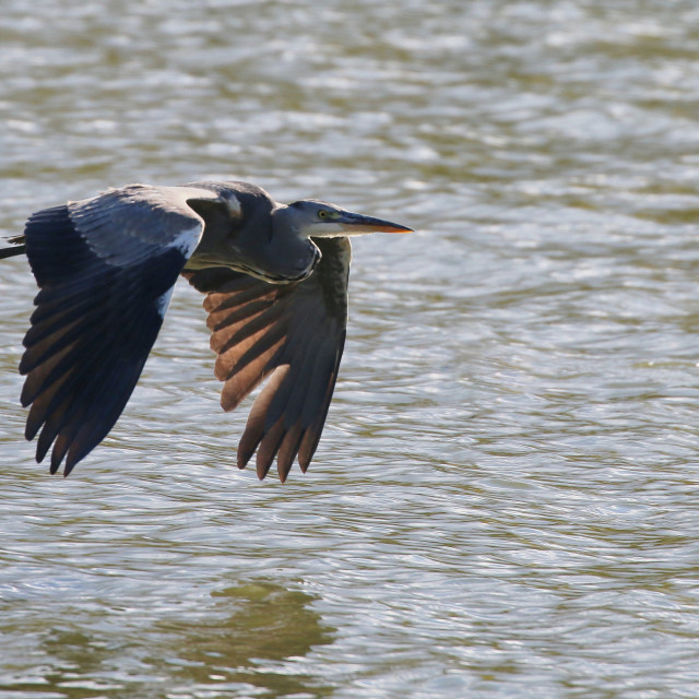 """Grey Heron in flight"" stock image"