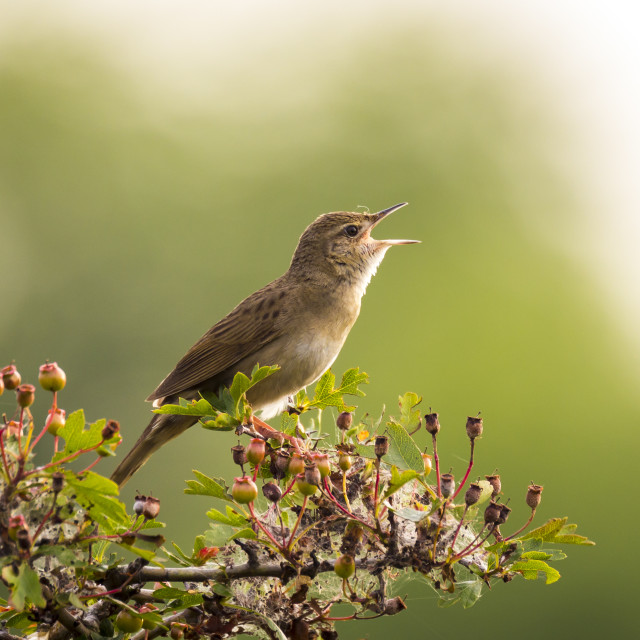 """""""Singing bird in search for a mate during spring season"""" stock image"""