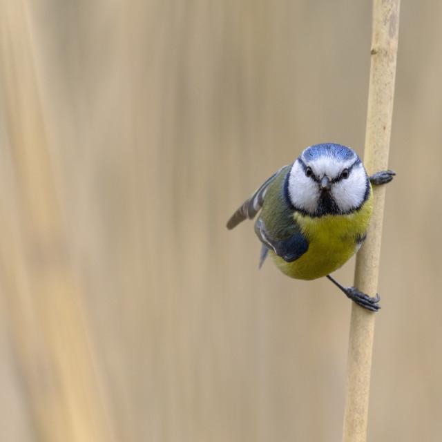 """Eurasian blue tit bird, Cyanistes caeruleus,"" stock image"