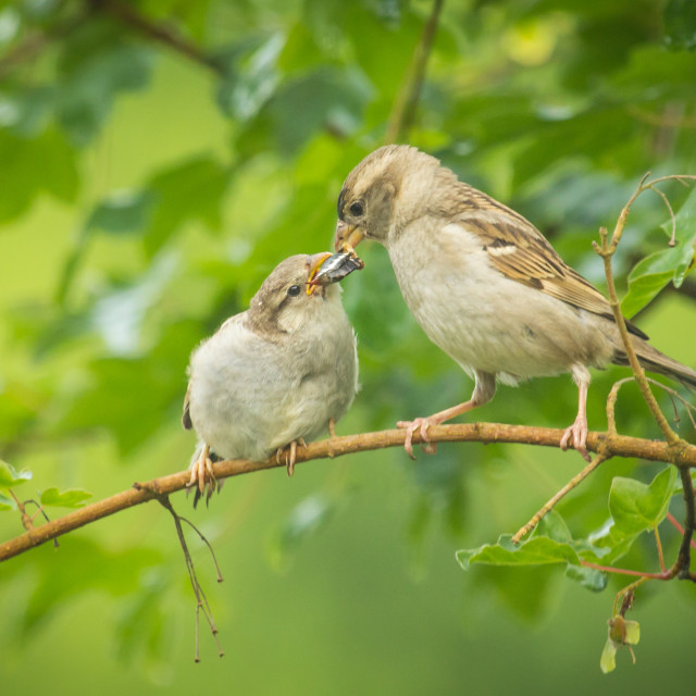 """""""House sparrow parent chick feeding in the wild"""" stock image"""
