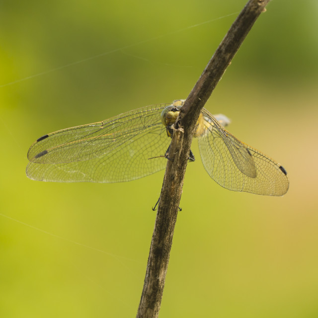"""""""Common Darter (Sympetrum striolatum) peeks"""" stock image"""