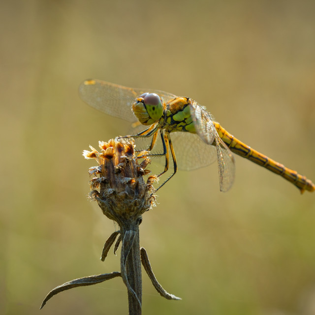 """""""Common Darter side view"""" stock image"""