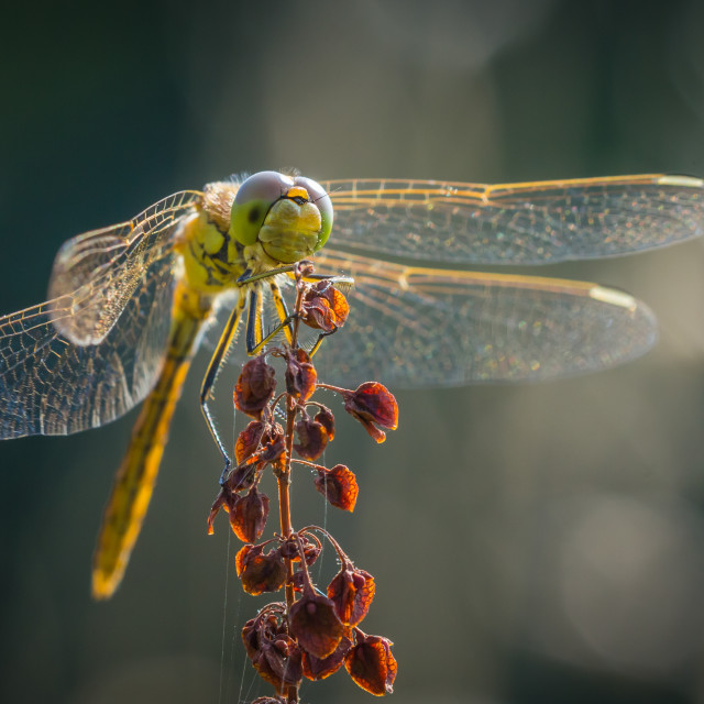 """""""Common Darter dragonfly front view"""" stock image"""