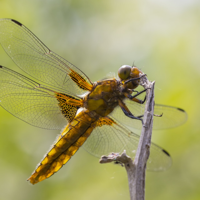 """""""Libellula depressa, the broad-bodied chaser or broad-bodied darter"""" stock image"""