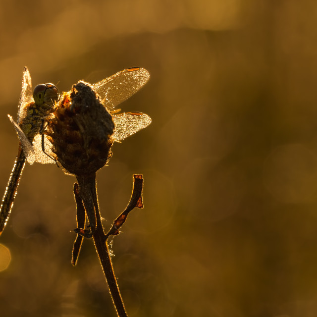 """Common Darter (Sympetrum striolatum) drying wings"" stock image"