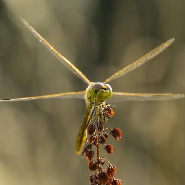 """""""Common Darter (Sympetrum striolatum) front"""" stock image"""