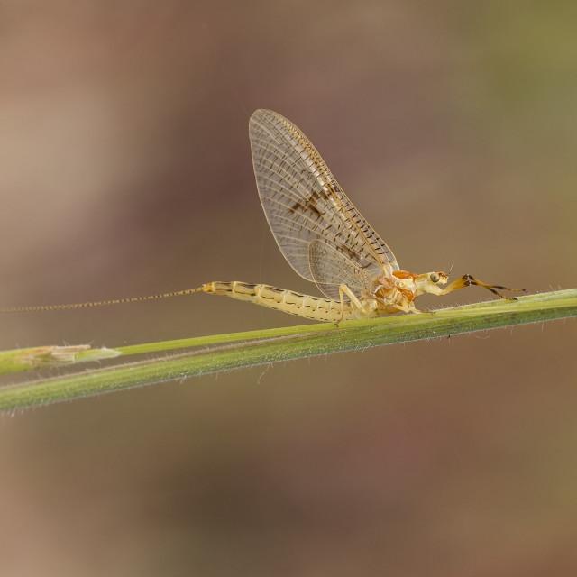 """Mayfly Ephemeroptera resting on grass"" stock image"