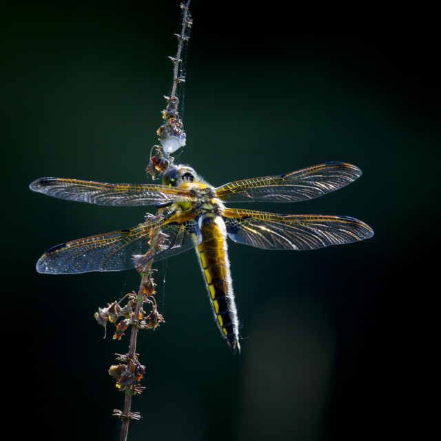 """""""Broad-bodied chaser on a dark background"""" stock image"""