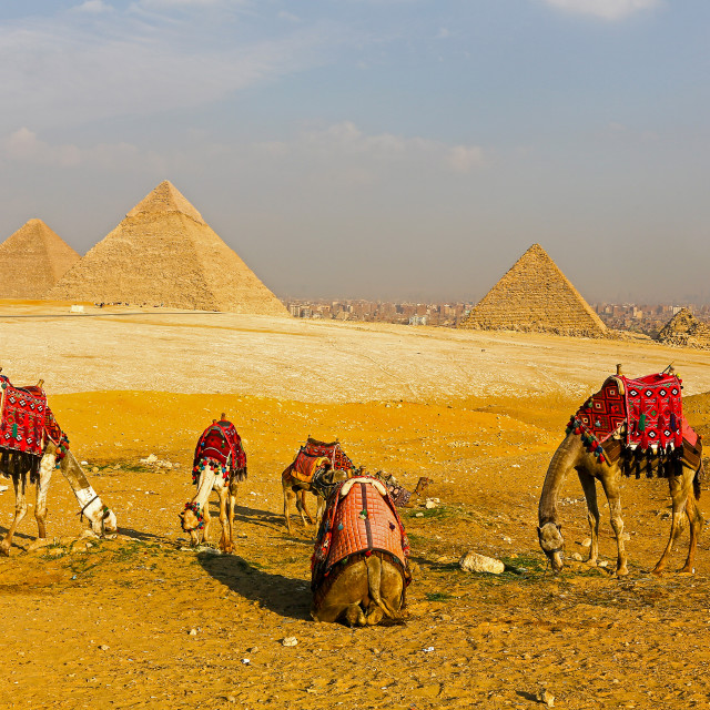 """Camels in front of the Pyramids, Giza, Egypt, North Africa"" stock image"