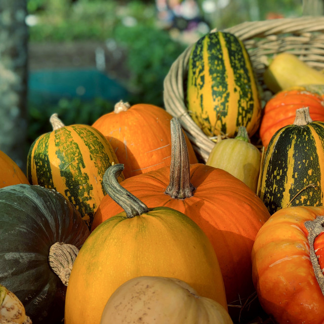 """Autumn Pumpkins and Squashes"" stock image"