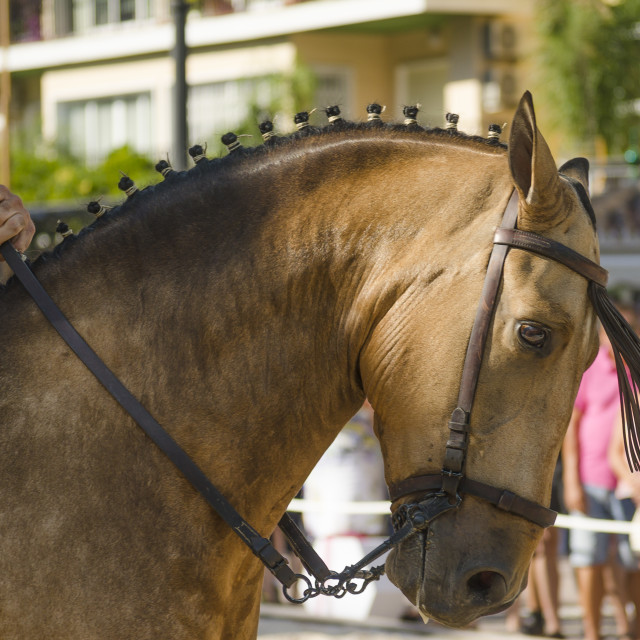 """Close up of horse, horse dressage celebration, event, Fuengirola, Málaga, Andalusia, Spain."" stock image"