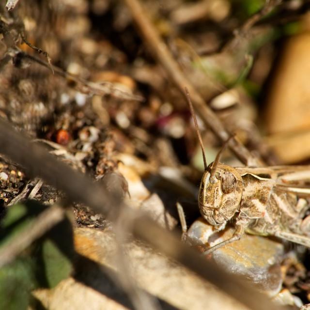 """""""Grasshopper blending in"""" stock image"""